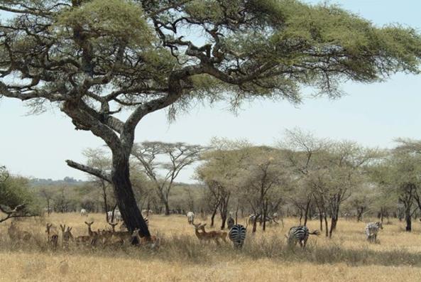 Afbeeldingsresultaat voor h. erectus slacht olifant